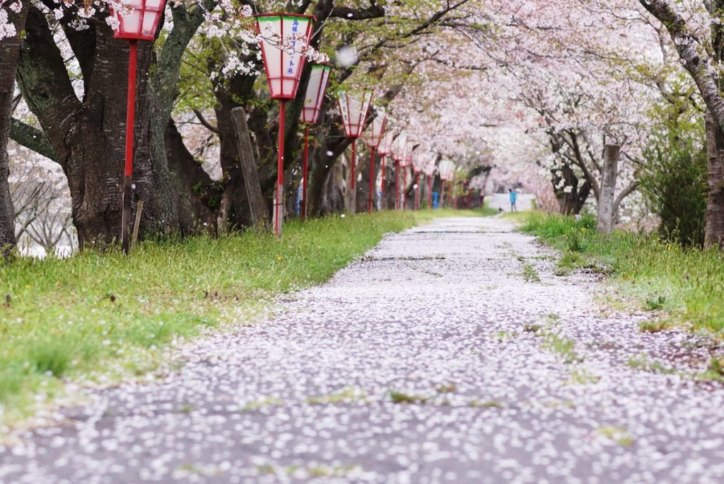 桜祭り_斐伊川堤防桜並木